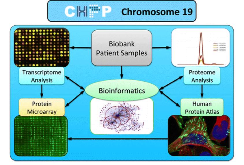 chromosome 19